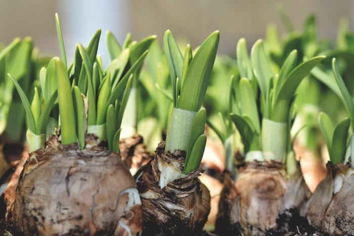 Какие луковичные цветы можно посадить осенью