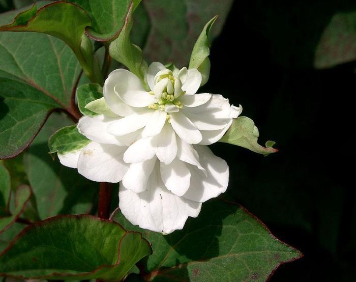 Фото цветов Хауттюйния сердцевидная