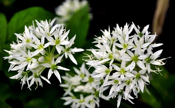 Фото цветов Черемши